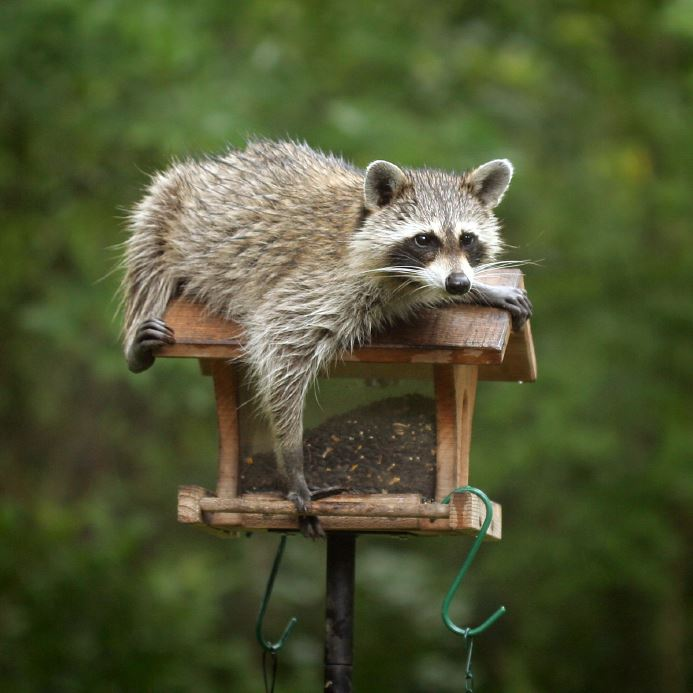 Racoon pic